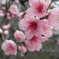 Sakura94